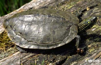 Northern map turtle carapace