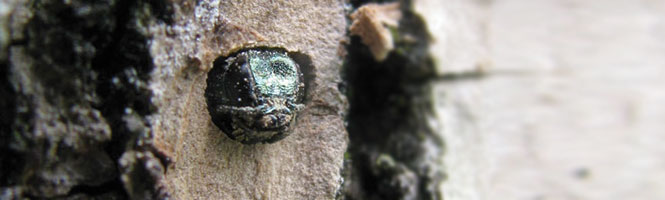 EAB emerging through its D-shaped exit hole.