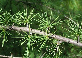pine needles of a tamarack tree