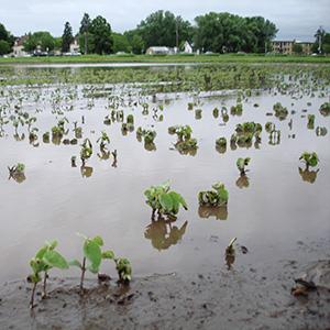 flooding water in a soybean field