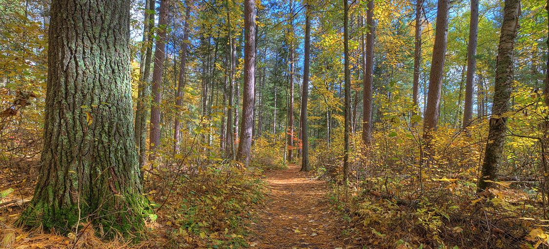 hiking trail in red pine forest during fall
