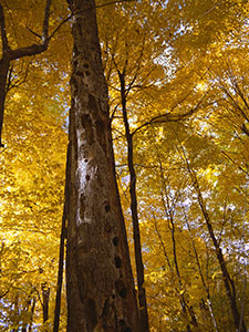 tree with wood pecker holes in a forest with tree with yellow leaves.