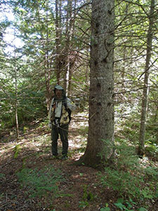 person standing beside large white pine
