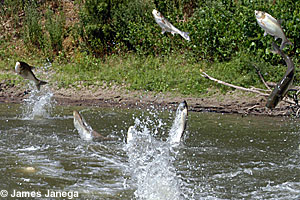 Photo of silver carp jumping out of the water.