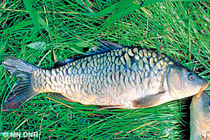 Common carp.