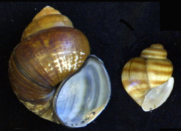 Chinese and banded mystery snails