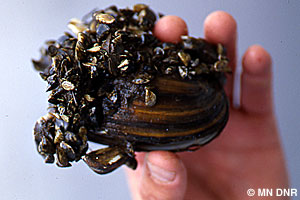 Zebra mussels on shell