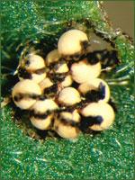Galerucella calmariensis egg mass