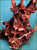 Hylobius transversovittatus have severely damaged this purple loosestrife root