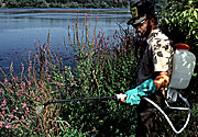 Chemical spraying of purple loosestrife.