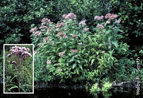Spotted Joe-Pye-weed