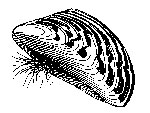 illustration of a zebra mussel