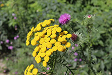 close-up of common yellow tansy and stopped knapweed