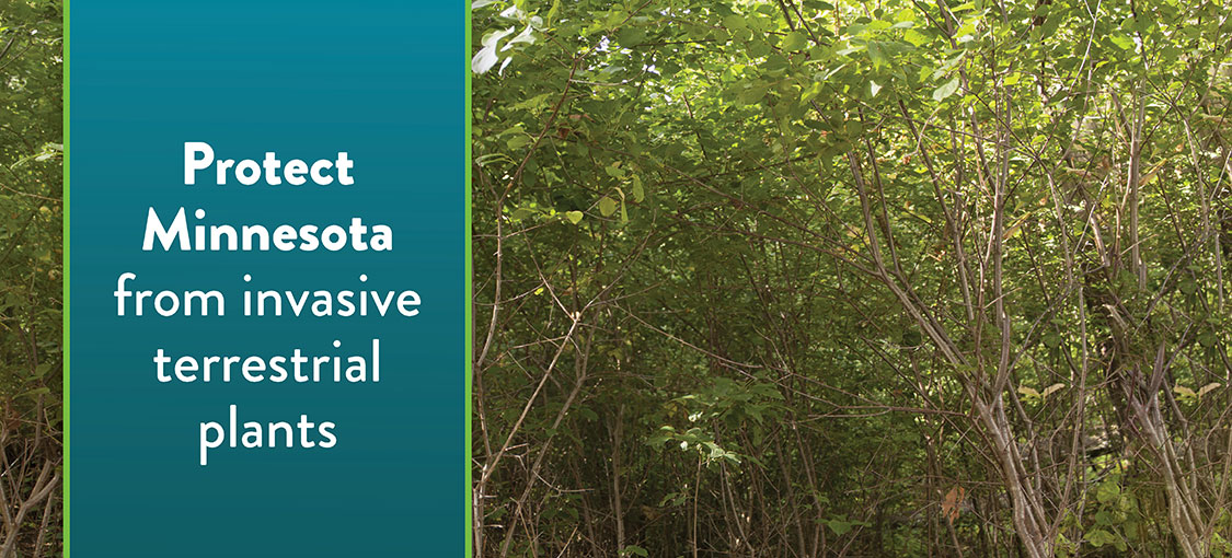 buckthorn with text Protect Minnesota from invasive terrestrial plants