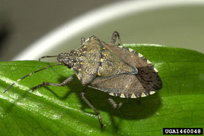 photo: Brown marmorated stink bug