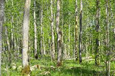 Selete ash tree stand