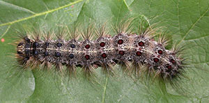 caterpillar covered with hairs showing characteristic pattern of five pairs of blue dots followed by six pairs of red dots along its back.