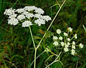 Spotted water hemlock image from Minnesota wildflower