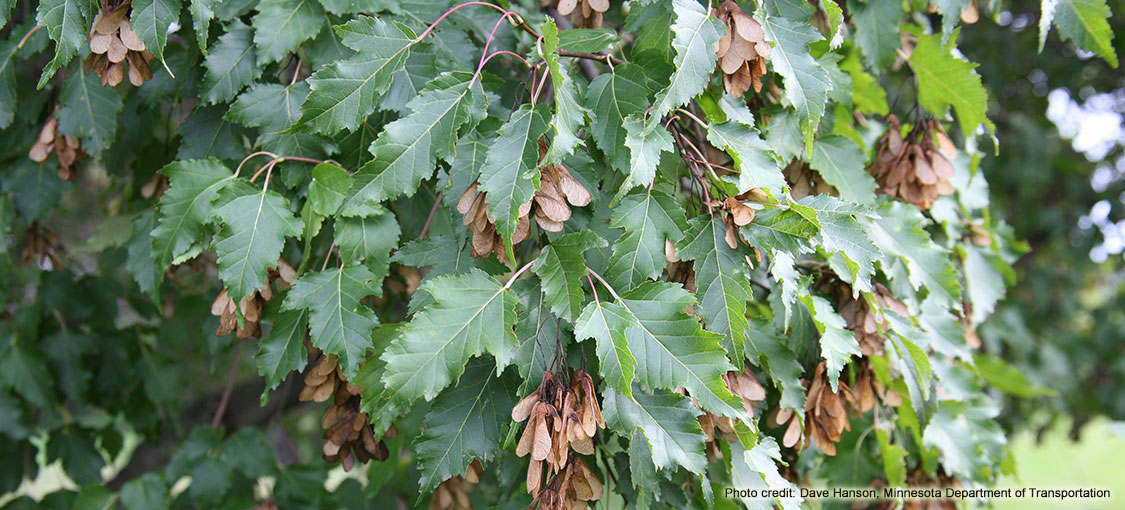 Amur maple leaves are longer than they are wide.
