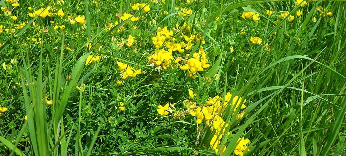 Yellow flowers of birdsfoot trefoil in a field.