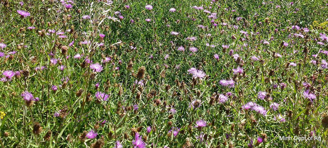 Field of brown knapweed in flower