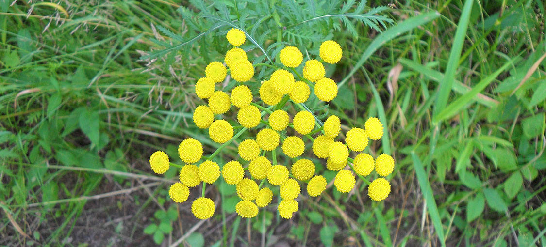 A cluster of round, yellow tansy flowers.