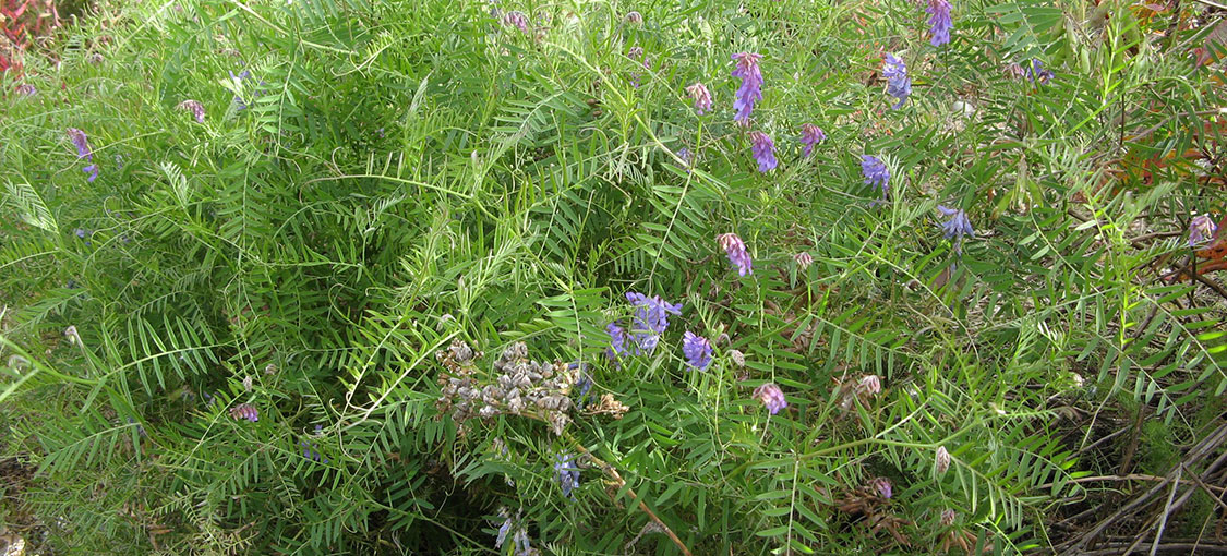 dense patch of cow vetch with purple flowers