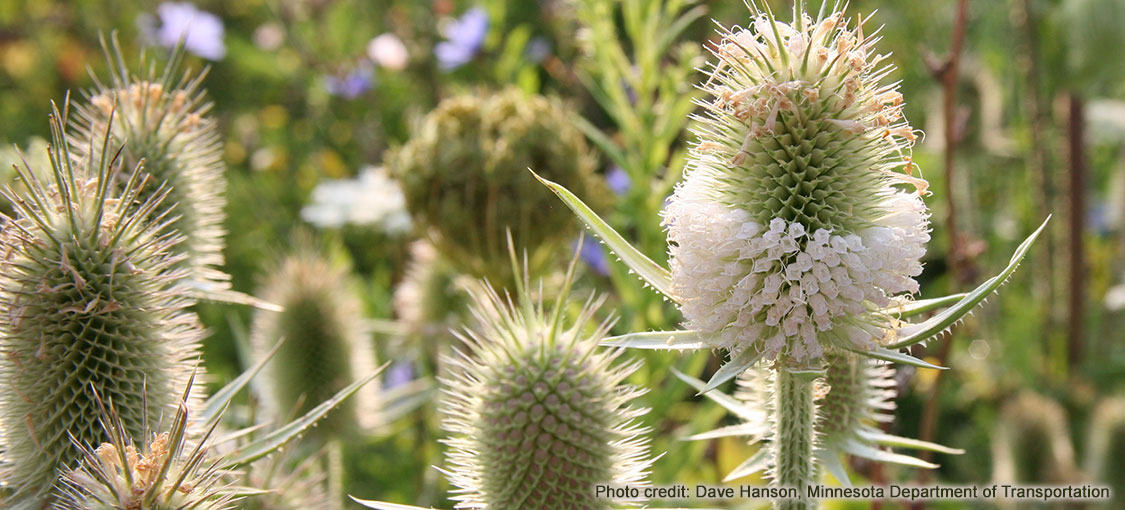 Flower heads of cutleaf teasel.