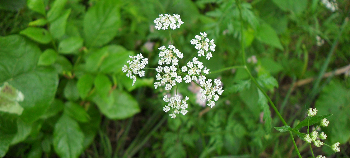 Cluster of small white erect hedgeparsley flowers.