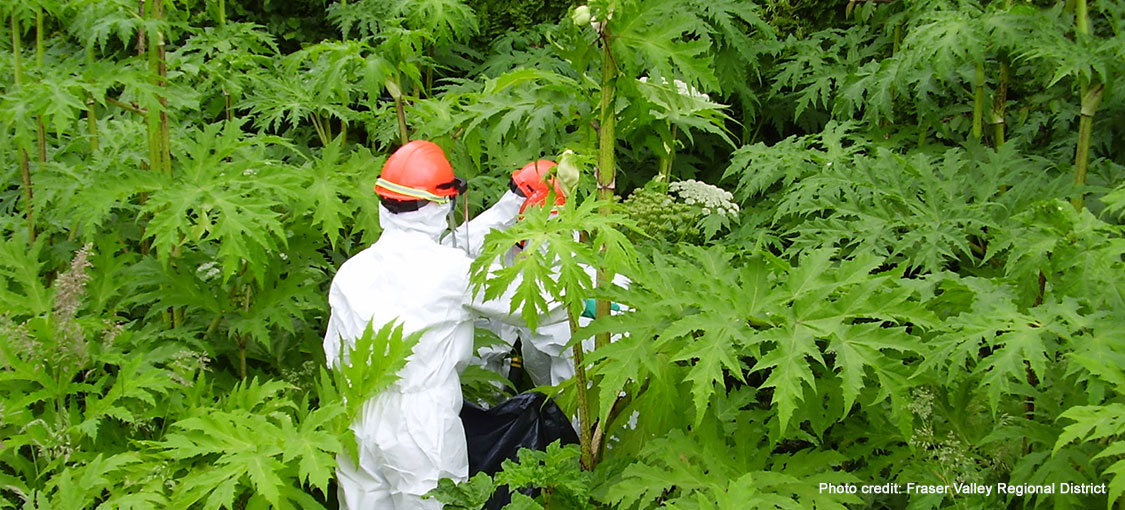 Two people in full protective gear surrounded by tall giant hogweed plants.