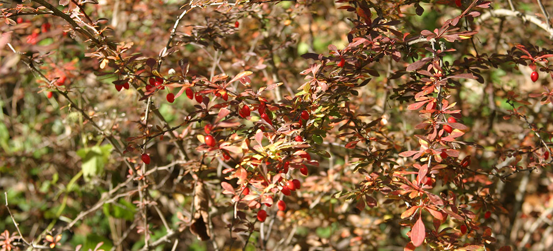 Japanese barberry branch with red berries and maroon leaves