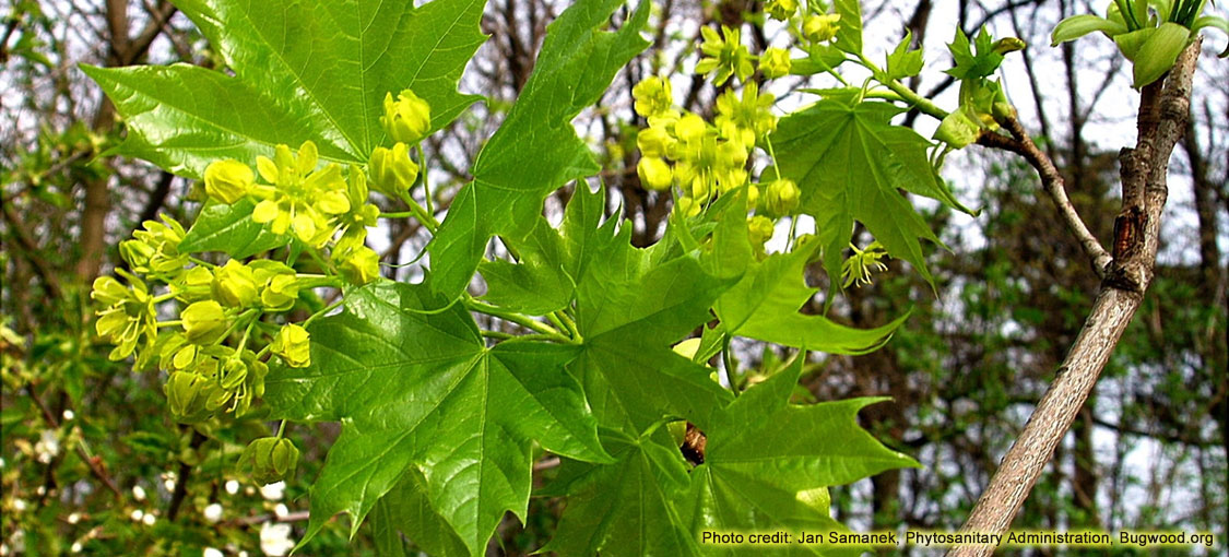 A grouping of green Norway maple leaves and yellow Norway maple flowers.