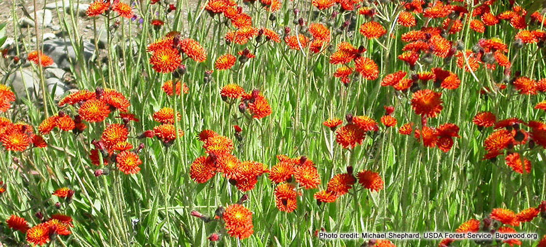 Orange flowers of a dense patch of orange hawkweed.