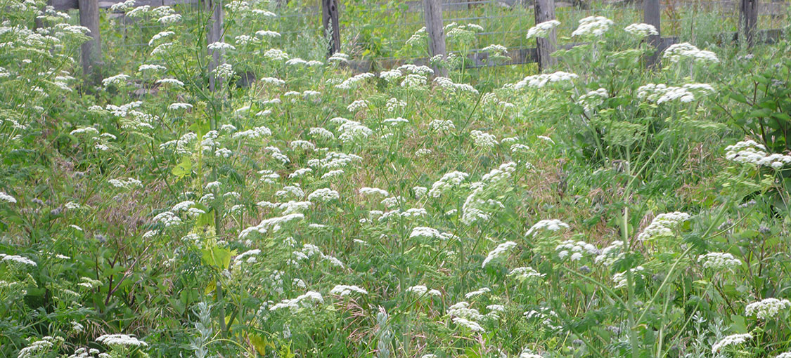 White flowers of a large clump of poison hemlock plants.