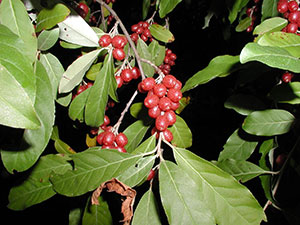close up of red berries on an autumn olive