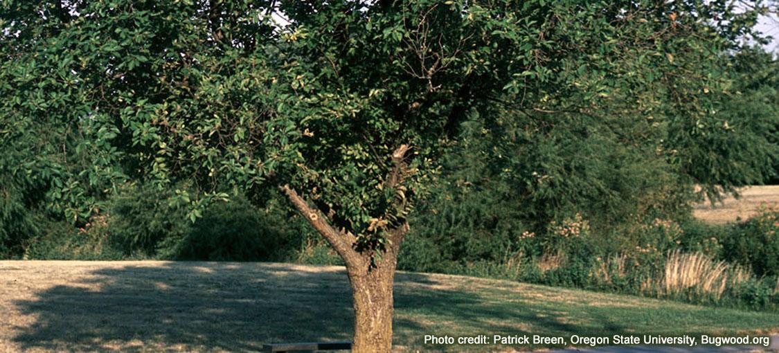A mature Siberian elm in summer