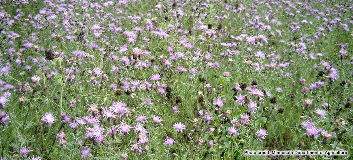 patch of spotted knapweed plants with pink/purple flowers