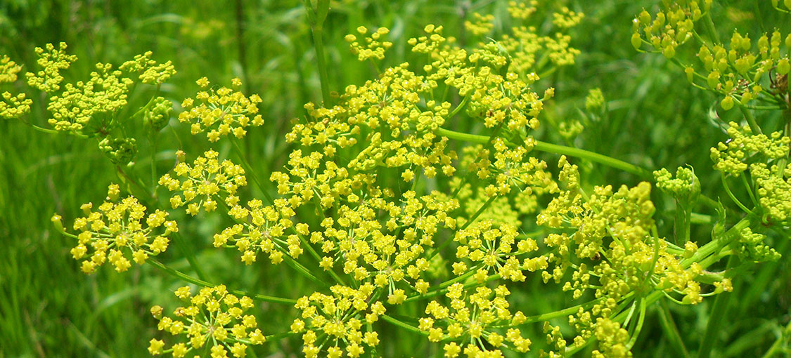 Close-up of clusters of small, yellow wild parsnip flowers.