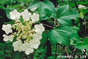 High-bush cranberry