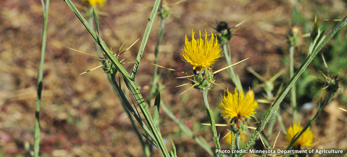 Yellow starthistle has long spines on its yellow flowers