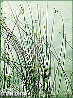 Bulrush photo