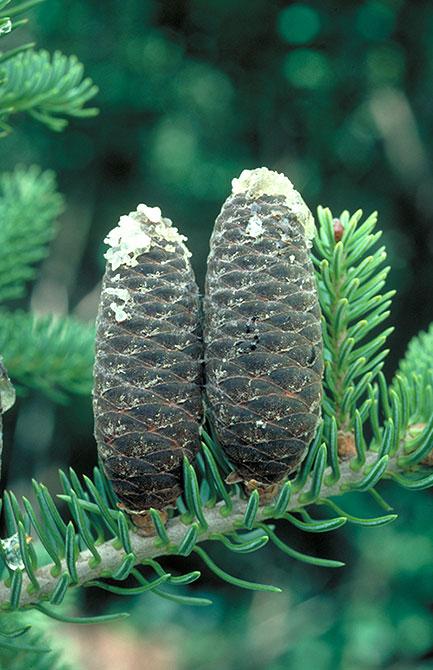 balsam-fir leaves