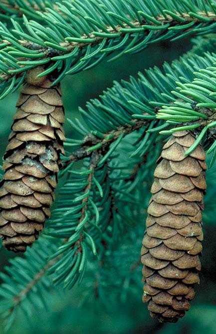 white spruce cones.