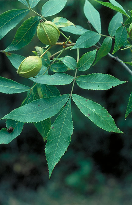 bitternut hickory leaves