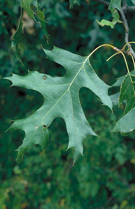 black oak leaves