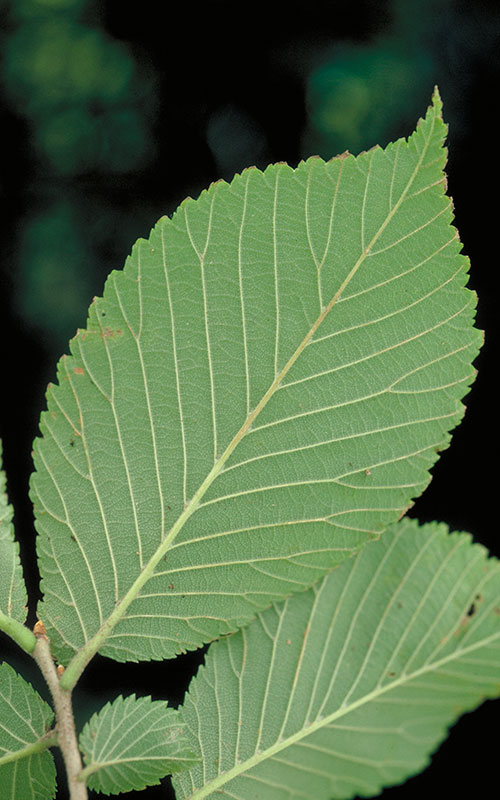 Red elm leaves