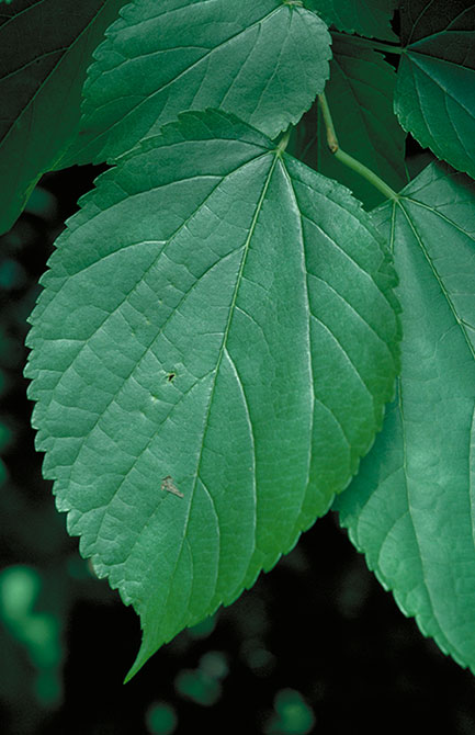 Red mulberry leaves