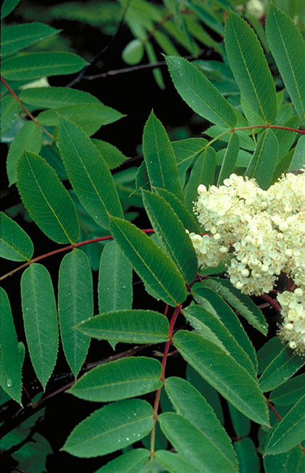 Showy mountain-ash leaves