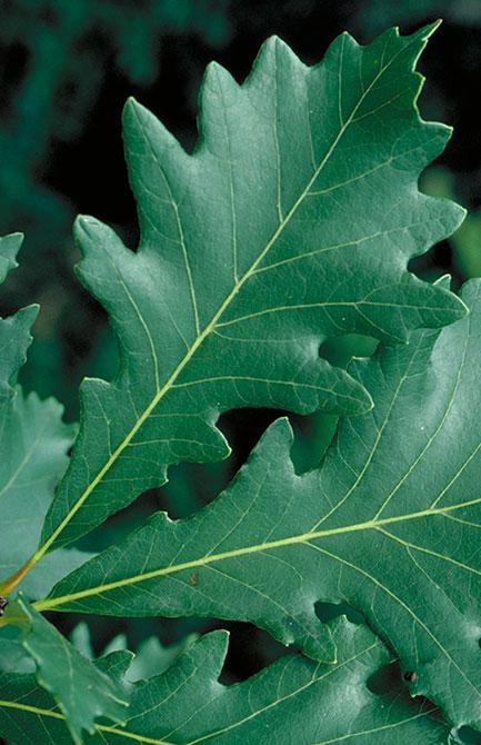 Swamp white oak leaves