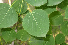 Aspen leaves on tree